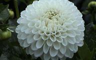 White Knight Flowers  12 Free Hd Wallpaper