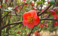 White Quince Flowers  1 Free Wallpaper
