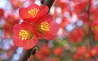 White Quince Flowers  10 Free Wallpaper