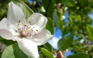 White Quince Flowers  18 Background Wallpaper
