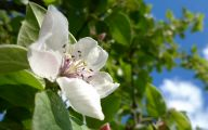 White Quince Flowers  21 Free Hd Wallpaper