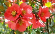 White Quince Flowers  26 Cool Hd Wallpaper