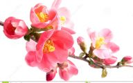 White Quince Flowers  27 Hd Wallpaper