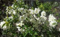 White Quince Flowers  28 Free Hd Wallpaper