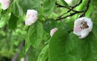 White Quince Flowers  30 Desktop Background