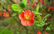 White Quince Flowers  34 Background