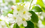 White Quince Flowers  35 Wide Wallpaper