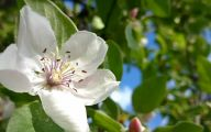 White Quince Flowers  36 Cool Wallpaper