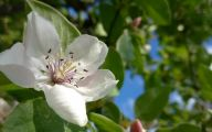 White Quince Flowers  8 High Resolution Wallpaper