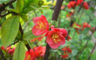 White Quince Flowers  8 Widescreen Wallpaper