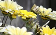 White Yellow Flowers  15 Hd Wallpaper