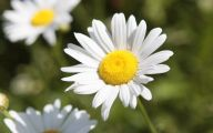White Yellow Flowers  26 Wide Wallpaper