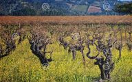 Yellow Flowers Vineyards  13 Free Hd Wallpaper