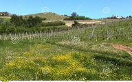 Yellow Flowers Vineyards  4 Cool Hd Wallpaper