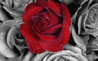 Black And White Rose Wallpaper  12 Background Wallpaper