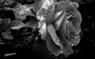 Black And White Rose Wallpaper  16 Desktop Background