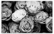 Black And White Rose Wallpaper  25 Widescreen Wallpaper