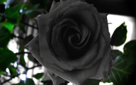 Black Rose Wallpaper Images  5 Wide Wallpaper