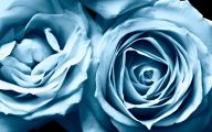 Blue And White Rose Wallpaper  11 Hd Wallpaper