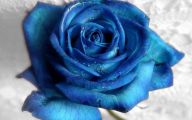 Blue And White Rose Wallpaper  13 Background Wallpaper