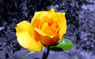 Blue And Yellow Rose Wallpaper  15 Cool Hd Wallpaper