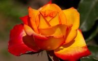 Blue And Yellow Rose Wallpaper  17 Wide Wallpaper