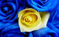 Blue And Yellow Rose Wallpaper  4 Widescreen Wallpaper