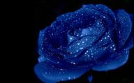 Blue Roses Wallpaper  16 Wide Wallpaper