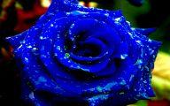 Blue Roses Wallpaper  31 High Resolution Wallpaper