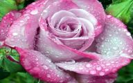Free Pink Rose With Raindrops Wallpaper  25 Desktop Wallpaper