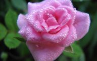 Free Pink Rose With Raindrops Wallpaper  4 Background