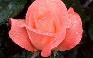 Free Pink Rose With Raindrops Wallpaper  6 Desktop Wallpaper