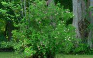 Green Rose Bush  12 Free Hd Wallpaper