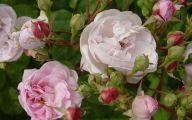 Green Rose Bush  15 Wide Wallpaper