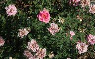 Green Rose Bush  17 Free Hd Wallpaper