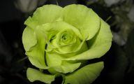 Green Rose Bush  24 Cool Hd Wallpaper