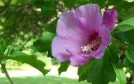 Green Rose Bush  7 Desktop Background