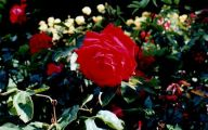 Green Rose Flower Essence  19 Desktop Wallpaper