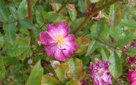 Green Rose Flower Essence  26 High Resolution Wallpaper