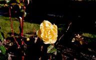 Green Rose Flower Essence  27 Desktop Background