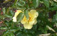Green Rose Flower Essence  29 Widescreen Wallpaper