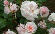 Green Rose Flower Essence  33 High Resolution Wallpaper