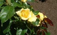 Green Rose Flower Essence  35 Desktop Background