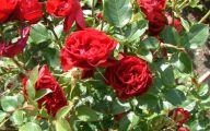 Green Rose Flower Essence  42 High Resolution Wallpaper