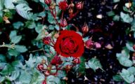 Green Rose Flower Essence  43 Cool Hd Wallpaper