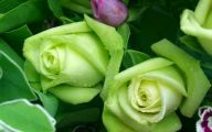 Green Roses Wallpaper  4 Free Hd Wallpaper