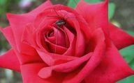 Hot Pink Rose Wallpaper  10 Free Hd Wallpaper