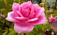 Hot Pink Rose Wallpaper  16 Free Wallpaper
