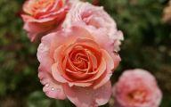 Hot Pink Rose Wallpaper  5 Desktop Background