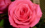 Hot Pink Rose Wallpaper  8 Widescreen Wallpaper